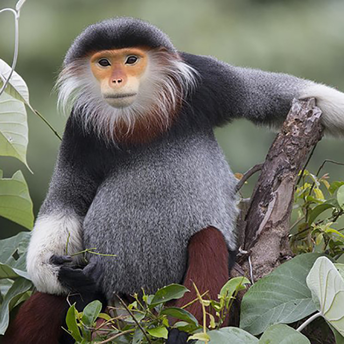 Red-shanked Douc Langur: Even in the face of habitat destruction, this dude is chill.