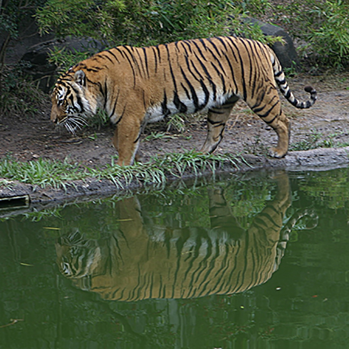 Indochinese Tiger: Nice kitty.