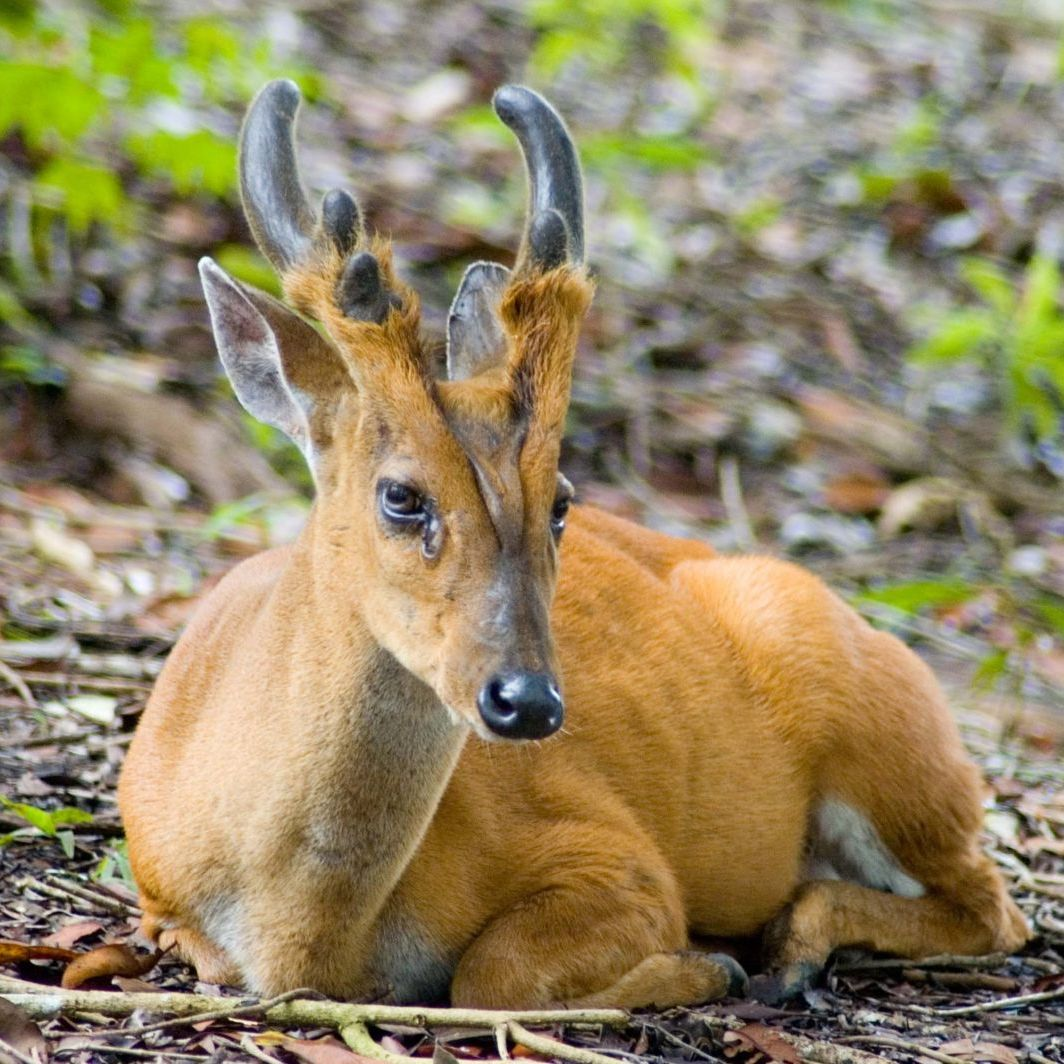 Large Antlered Muntjac: The deer reindeer wish they could be.