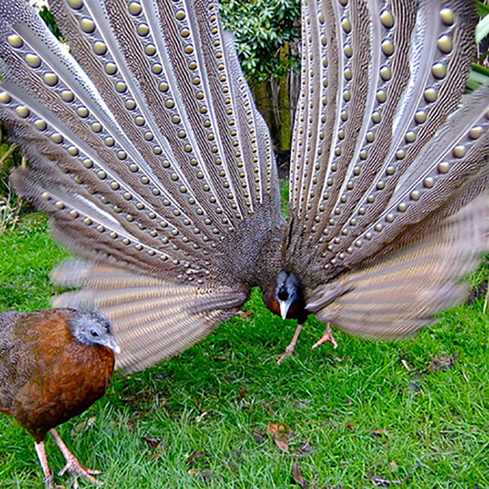 The Crested Argus: Showoff.