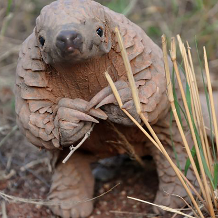 """Pangolin: Or """"Excuse me, but would you be interested in saving my life? If it's not too much trouble, of course."""""""